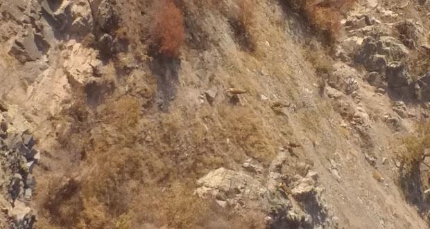 Yaban Dağ Keçileri Avlanma Yüzünden Nadir Görülmeye Başladı