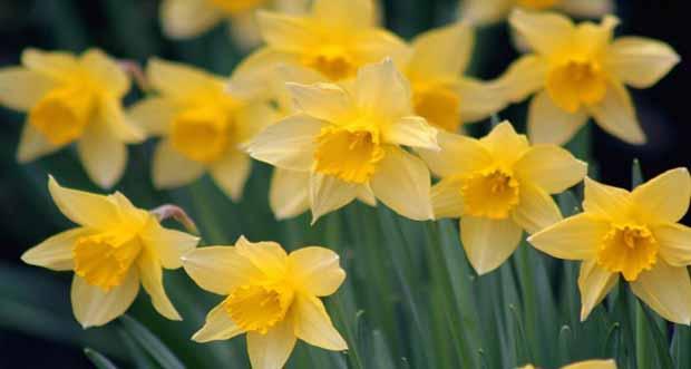 Nergis çiçeğinin faydaları nelerdir